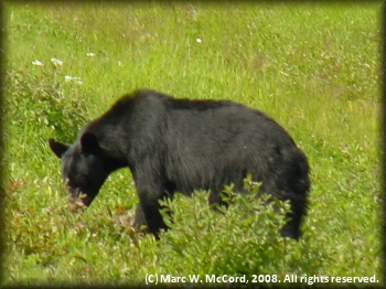Black bear feeding on berries right alongside the highway
