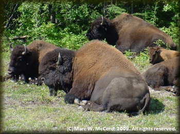 Buffalo resting beside the highway