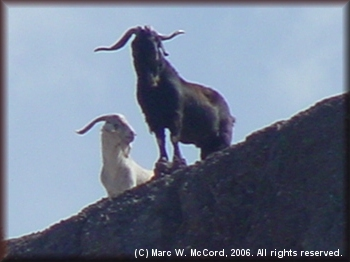 Bighorn sheep looking down on the river