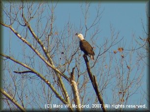 Bald Eagle on the Elk River